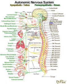 , A Look Inside the Craniosacral System and how CST helps – by Dr John Upledger . , A Look Inside the Craniosacral System and how CST helps – by Dr John Upledger Nervous System Anatomy, Facial Nerve, Nursing School Notes, Les Chakras, Craniosacral Therapy, Autonomic Nervous System, Medical Anatomy, Human Anatomy And Physiology, Body Anatomy