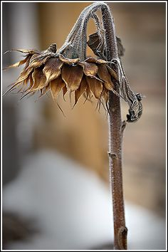 Dead flower in nature, frozen and wilted to death and preserved through winter.