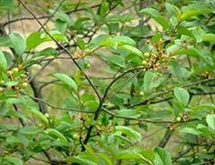 Почему не плодоносит вишня даже, если обильно цветёт? Что делать?