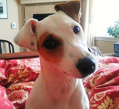 Jack Russell!