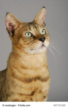 ★ Der Steckbrief über die beliebte Katzenrasse Chausie mit Bildern, allen Informationen zur Rasse, dem Wesen und der Herkunft. ★