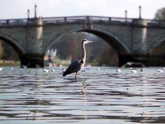 Heron by Richmond Bridge