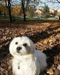 Image Result For Brown Shih Tzu Dog Bones Dogs Maltese Shih Tzu