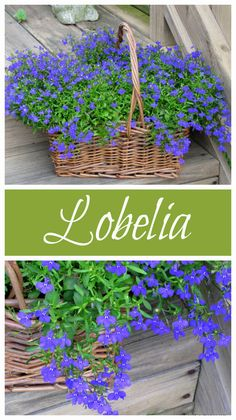 Blue Lobelia is a wonderful annual to add to your garden this year. It comes in VIBRANT shades with loads of blooms and grows in full sun to part shade.