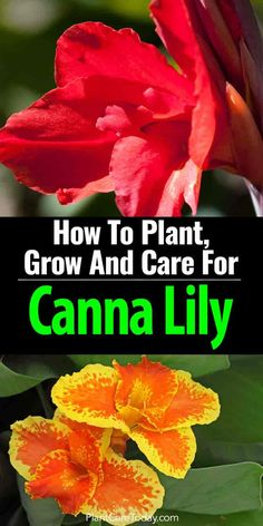 Garden Design Flower Canna lily care is easy for this low maintenance, flamboyant summer flowering herbaceous perennial plant and perfect for long-lasting garden color. Canna Lily Landscaping, Landscaping Plants, Garden Plants, Outdoor Plants, Flowering Plants, Landscaping Design, Outdoor Landscaping, Canna Lily Care, Cana Lily