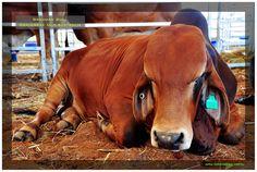 Brahman bull at cattle sale, Gracemere QLD Australia Cattle, Australia, Horses, Watch, Places, Animals, Gado Gado, Clock, Animales