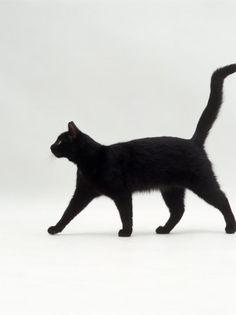 Black Cat (Felis Catus) Walking Profile Premium Poster