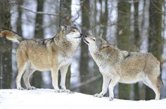 Two grey wolves on a winter day