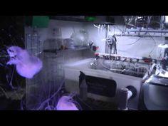 Jellyfish reporduction Lab at Mote Marine Laboratory sarasota Florida 9 ...