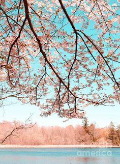 Cherry Blossom on the Lake - Andrea Anderegg #cherryBlossoms #cherryTree