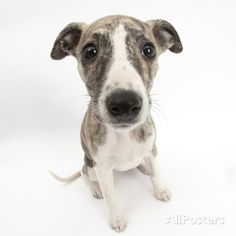 Brindle-And-White Whippet Puppy, 9 Weeks Photographic Print at AllPosters.com by Mark Taylor