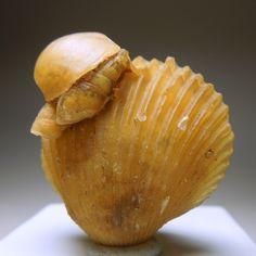 Agatized Shell #minerals #fossils #shells