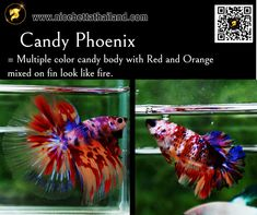 All of Betta Fish – A Guide on Patterns, Color in the world - Nice Betta Thailand.CO.,LTD Orange Bodies, Colorful Candy, Colorful Fish, Betta Fish Types, Fish For Sale, Siamese Fighting Fish, Fish Farming, Fish Patterns