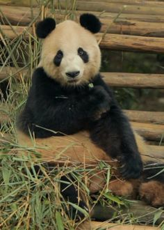 Find GIFs with the latest and newest hashtags! Search, discover and share your favorite Panda GIFs. The best GIFs are on GIPHY. Niedlicher Panda, Panda Bebe, Cute Panda, Panda Funny, Big Panda, Hello Panda, Nature Animals, Animals And Pets, Funny Animals