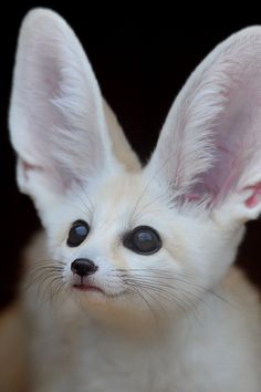 Fennec fox all is see is pure  evil running through its veins