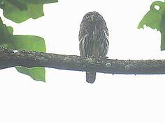 Bird Photos, Birding Sites, Bird Information: FERRUGINOUS PYGMY-OWL, ASA WRIGHT NATURE CENTRE, A...
