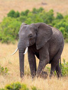 African Elephant by Vishwa Kiran on 500px
