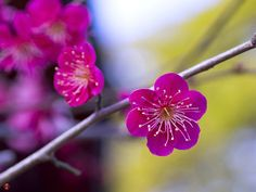 FROM THE GARDEN OF ZEN: Ume (Japanese apricot) flowers in Tsurugaoka-hachimangu