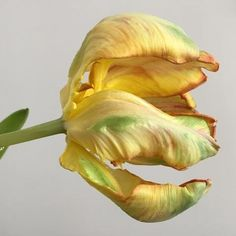 #flower #tulip #decay #nature #progress #beauty #observation #abstract #photography #floral #inspiration