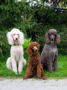 We just need a redhead and we would be complete girls. #Poodles