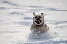 Pies - ratownik lawinowy