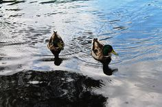 #ducks