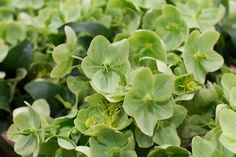 Green Helleborus argutifolius at New Covent Garden Flower Market - April 2016