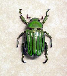 Real Green Metallic Silver Beetle