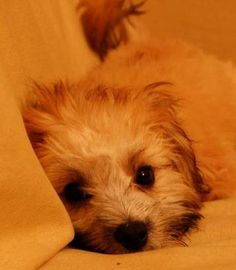 Maltese Mix dog breeds are the offsprings of Maltese dogs that have are the results of breeding a Maltese dog with other purebred dogs. Maltese Yorkie Mix, Maltese Dog Breed, Purebred Dogs, Animals And Pets, Funny Animals, Cute Animals, All Small Dog Breeds, Cute Nicknames, Maltipoo