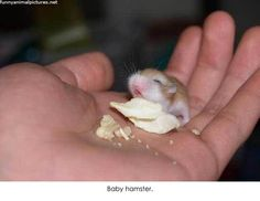 Baby hamster - this brings back memories of when my little brother had hamsters.  So cute!