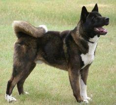 #Akita Inu #Dogs #Puppy 秋田犬