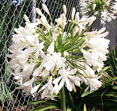 Agapanthus praecox ssp orientalis 'Getty White' at San Marcos Growers