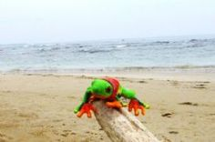 Javi the Frog on driftwood in Puerto Viejo - Puerto Viejo de Talamanca, Limon