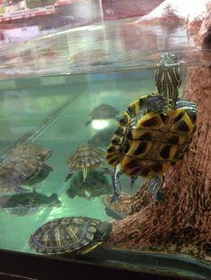 """Hey there, wanna play! Land Turtles, Baby Sea Turtles, Cute Turtles, Turtle Cage, Pet Turtle, Kawaii Turtle, Tortoise As Pets, Turtle Aquarium, Turtle Habitat"