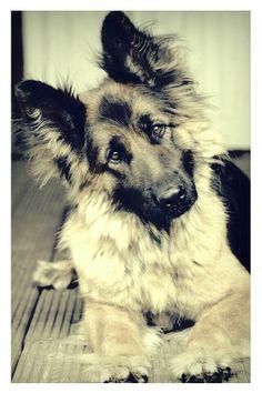 Our German Shepherd Bailey / Oud Duitse Herder .