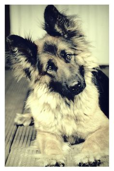 Our German Shepherd Bailey / Oud Duitse Herder .