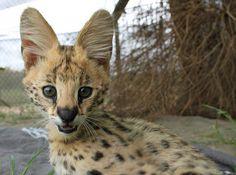 Serval kitten. <3