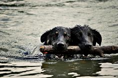 sharing...2 dogs with 1 stick