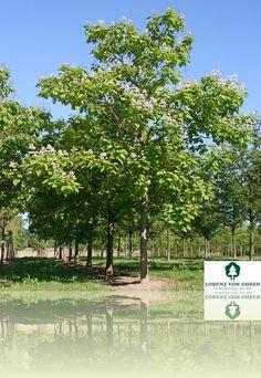 Catalpa bignonioides   Baumschule Lorenz von Ehren - Baumschulen seit 1865 - Wir lieben Bäume