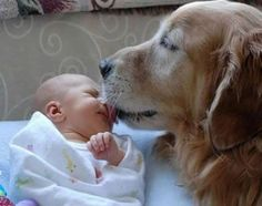 with puppy kisses from the heart #adorable #goldenretriever #baby