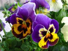 Pansies do well in cooler weather.  Think it is time for a  box full of these.