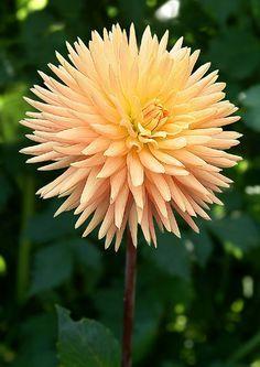 "'Embrace' Dahlia • 5"" bloom, 4' bush, semi-cactus, yellow/orange."