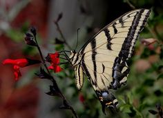 #butterflies Western Tiger Swallowtail photographed by Selvi Viswanathan in Los Alamos County New Mexico http://ift.tt/2ufcKaN http://ift.tt/2uHbXlc #flowers #insectagram #macro