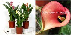 Cómo cultivar calas en macetas y cuidados esenciales
