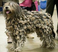 bergamo shepherd   Bergamasco Sheepdog. The dog with dreadlocks!
