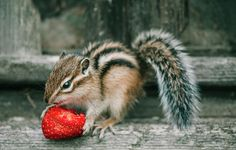 Chipmunk And Strawberry Photograph by Oksana Ariskina on @fineartamerica Cute and funny wild animals! Buy print and other product with my fine art photography online: www.oksana-ariskina.pixels.com   #OksanaAriskina  #FineArtPhotography #HomeDecor #FineArtPrint #PrintsForSale #Chipmunk #Nature #Funny #squirrel #wildanimals #funny #humor #howdoyoupixels #Strawberry
