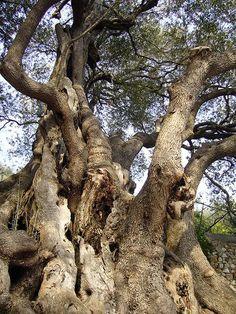 l'olivier de roquebrune-cap- martin (Alpes Maritimes) serait vieux de plus de 2000 ans 20 mètres de circonférence