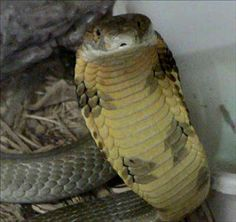 The King Cobra ~ World of photography