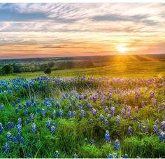 Texas Bluebonnets...