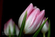 tulip by JulianaSchulze #nature #photooftheday #amazing #picoftheday